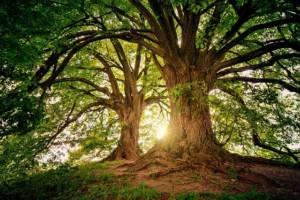 Bild starker Bäume
